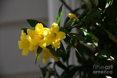 Sc Yellow Jessamine State Flower -georgia Print by Adrian DeLeon