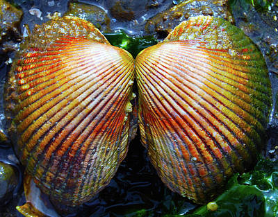 Photograph - Scallop - Close Up by Brian O'Kelly