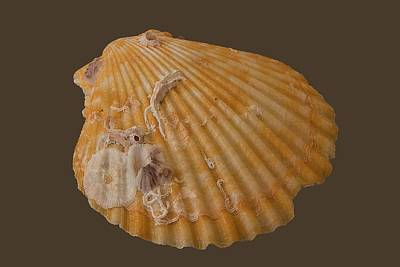 Photograph - Scallop Shell With Guests Transparency by Richard Goldman