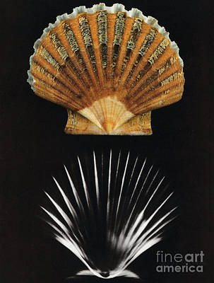 Photograph - Scallop Shell X-ray by Photo Researchers