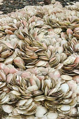 Scallop Shells Art Print by Ted Kinsman