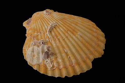 Photograph - Scallop With Guests by Richard Goldman
