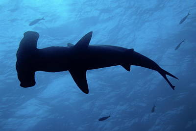 Scalloped Hammerhead Shark Underwater View Art Print by Sami Sarkis