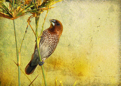 Scaly-breasted Munia Art Print by Perry Van Munster