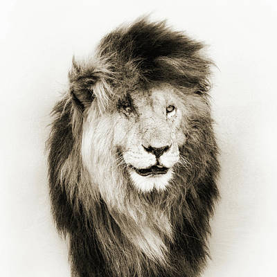 Photograph - Scar Lion Closeup Square Sepia by Susan Schmitz