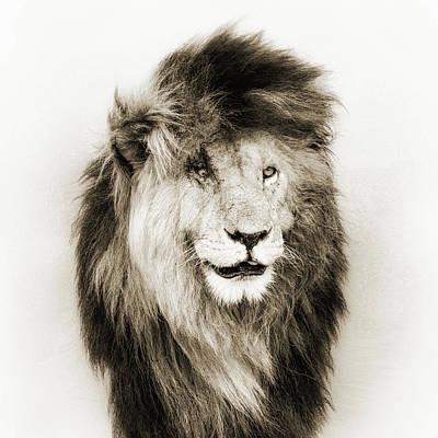 Photograph - Scar Lion Closeup Square Sepia by Susan Schmitz