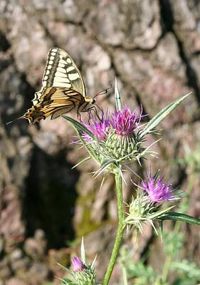 Photograph - Scarce Swallowtail Butterfly And Thistle by Tracey Harrington-Simpson