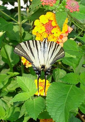Butterfly Blue Pincushion Flower Photograph - Scarce Swallowtail Feeding On Lantana by Tracey Harrington-Simpson
