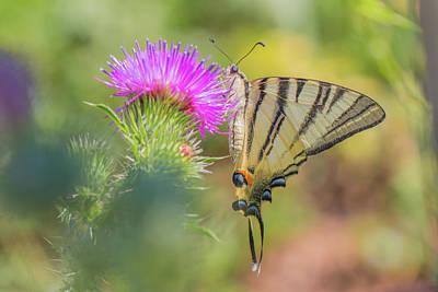Photograph - Scarce Swallowtail - Iphiclides Podalirius by Jivko Nakev