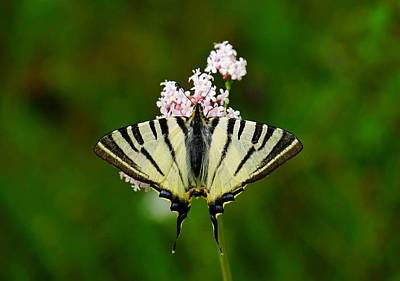 Butterfly Blue Pincushion Flower Photograph - Scarce Swallowtail On Wild Garlic Flowers by Tracey Harrington-Simpson