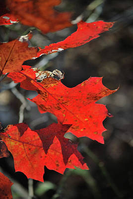 Photograph - Scarlet Autumn by Ron Cline