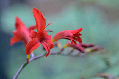 Photograph - Scarlet Blooms by Janet Rockburn