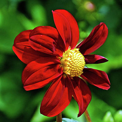 Photograph - Scarlet Dahlia Ingolden Gate Park In San Francisco, California by Ruth Hager