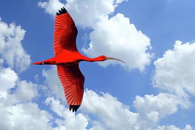 Photograph - Scarlet Ibis 1 by Nadia Sanowar