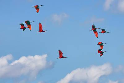 Photograph - Scarlet Ibis 2 by Nadia Sanowar