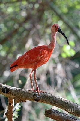 Photograph - Scarlet Ibis by George Atsametakis