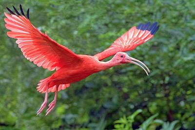 Photograph - Scarlet Ibis by Nadia Sanowar