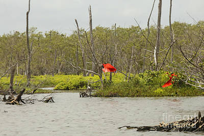 Photograph - Scarlet Ibis by Patricia Hofmeester