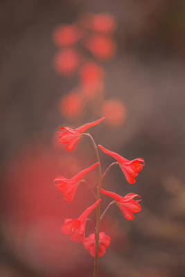Photograph - Scarlet Larkspur Clouds by Alexander Kunz