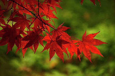 Photograph - Scarlet Leaves by Ann Bridges