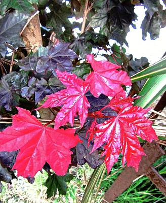 Photograph - Scarlet Leaves by Stephanie Moore