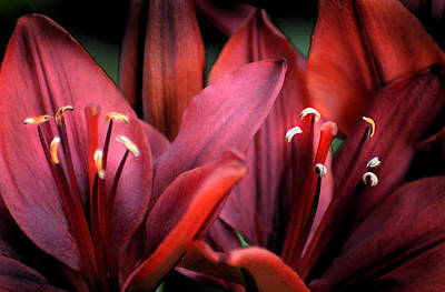 Photograph - Scarlet Lilies by Kathleen Stephens