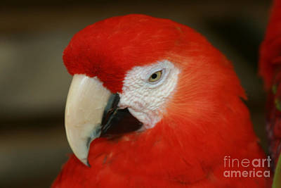 Photograph - Scarlet Macaw Ara Macao by Sharon Mau