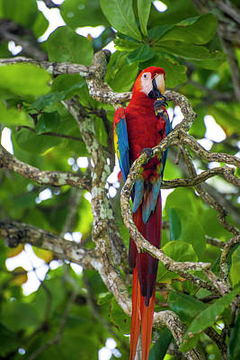 Art Print featuring the photograph Scarlet Macaw by David Morefield