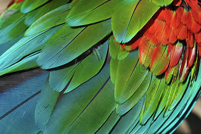 Photograph - Scarlet Macaw Feathers by Kyle Hanson