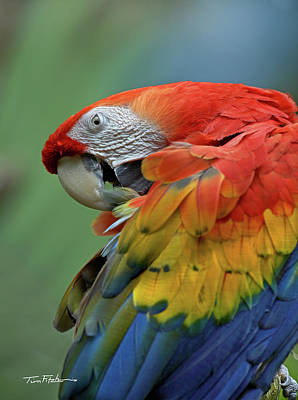 Photograph - Scarlet Macaw Preening by Tim Fitzharris
