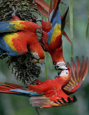 Photograph - Scarlet Macaws Feeding by Tim Fitzharris