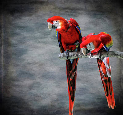 Photograph - Scarlet Macaws by Judy Vincent