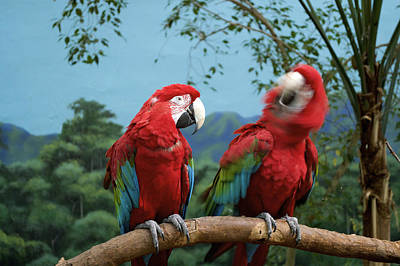 Macaw Mixed Media - Scarlet Macaws Saying No by Thomas Woolworth