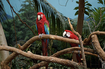 Macaw Mixed Media - Scarlet Macaws Sorry by Thomas Woolworth