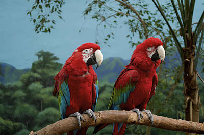 Macaw Mixed Media - Scarlet Macaws Spring Time Courting by Thomas Woolworth