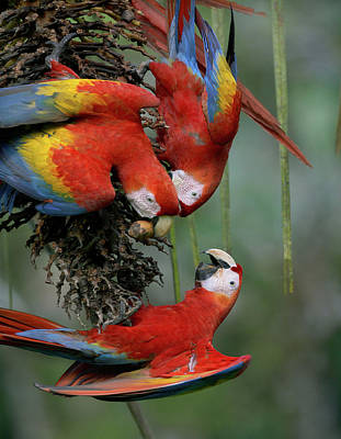 Photograph - Scarlet Macaws by Tim Fitzharris