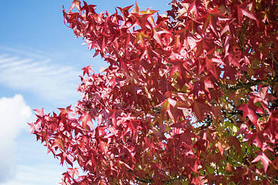 Photograph - Scarlet Maple In Langley Bc by Tom Cochran