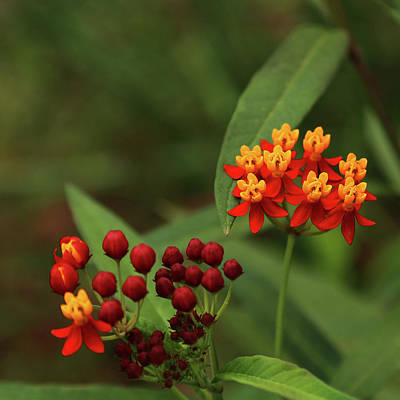 Photograph - Scarlet Milkweed by Judy Vincent