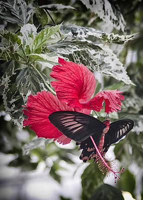 Photograph - Scarlet Mormom Butterfly On Hibiscus by Shirley Mitchell
