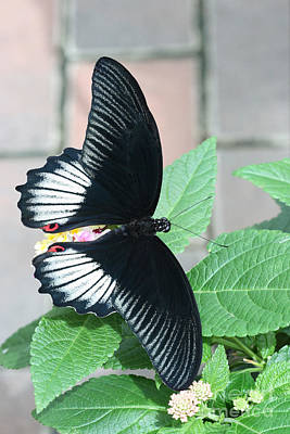 Delicate Photograph - Scarlet Mormon Butterfly by Judy Whitton