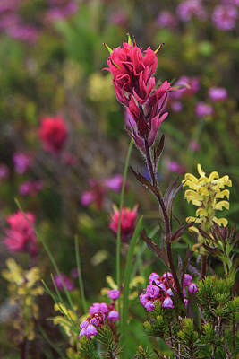 Photograph - Scarlet Paintbrush by David Chandler