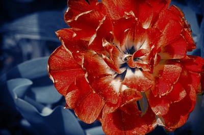 Peony Photograph - Scarlet Peony Flower by Konstantin Sevostyanov