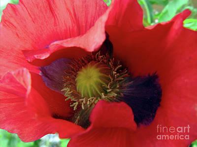 Photograph - Scarlet Poppy #2 by Kim Tran