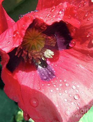 Photograph - Scarlet Poppy by Kim Tran