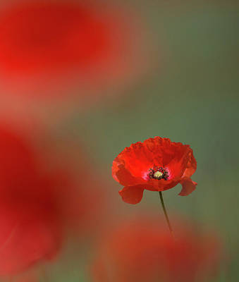 Photograph - Scarlet Poppy by Peter Walkden