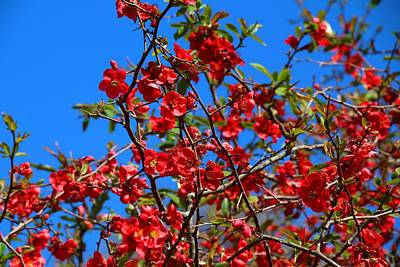 Photograph - Scarlet Quince And Blue Sky by Kathryn Meyer