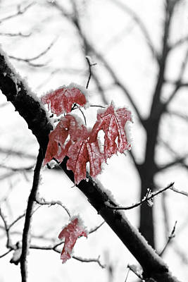 Photograph - Scarlet Red Leaves In Winter by Brooke T Ryan