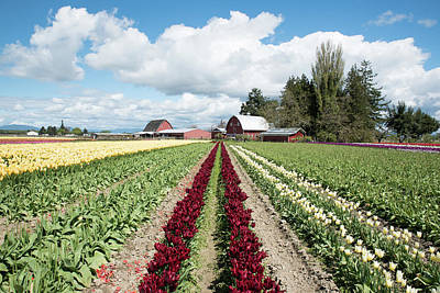 Photograph - Scarlet Rows And Red Barns by Tom Cochran