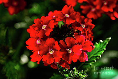 Photograph - Scarlet Surprise By Kaye Menner by Kaye Menner