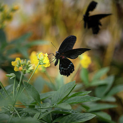 Scarlet Swallowtail Butterfly On Bright Yellow Flower With Other Art Print by Matthew Gibson